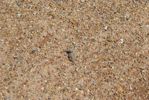 Horned lizard in the driveway gravel.