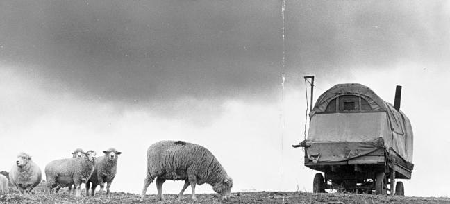 J. Lequesca's sheep graze in Jordan Valley, Oregon.