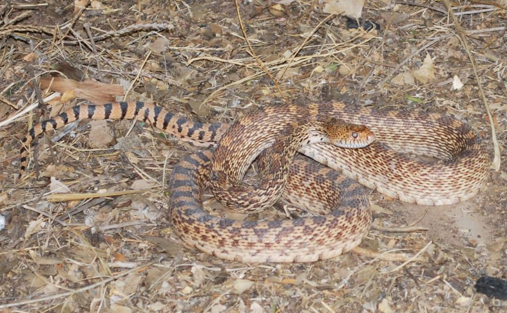 And yet another gopher snake. Some of these get remarkably large on a diet of wood rat, mice, and other rodents.